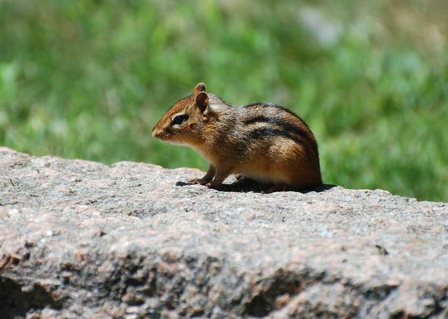 "ANYBODY SEEN DALE? ""I am an up-and-coming photographer,"" writes Debra Meole of East Haven. This chipmunk was kind enough to pose for her on a granite wall in Stony Creek. TAKE YOUR BEST SHOT  Readers are invited to send their nature photos and comments to <a href=""mailto:features@nhregister.com"">features@nhregister.com</a> or post them on our Facebook fan page, www.facebook.com/newhavenregister"