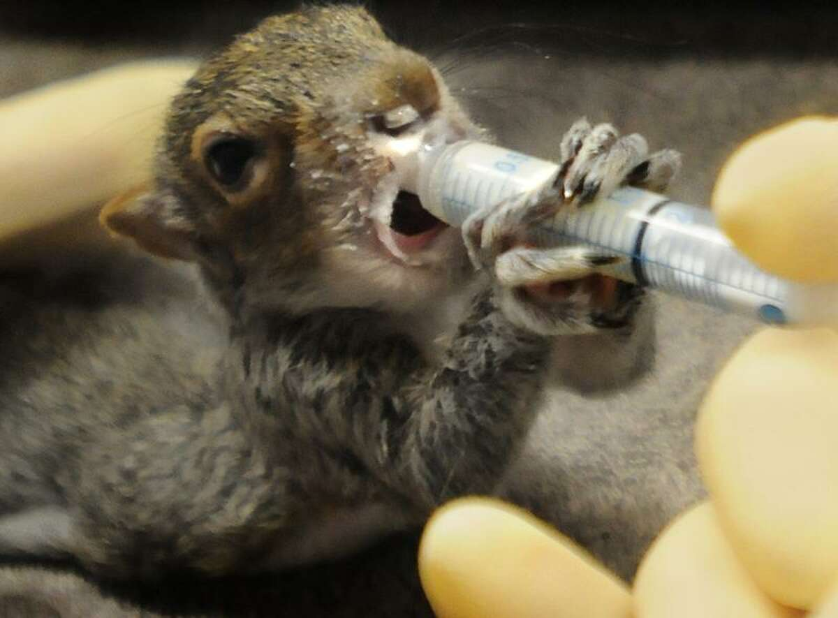 An orphaned baby squirrel gets a drink of formula at the Ansonia Nature Center Friday. Melanie Stengel/Register