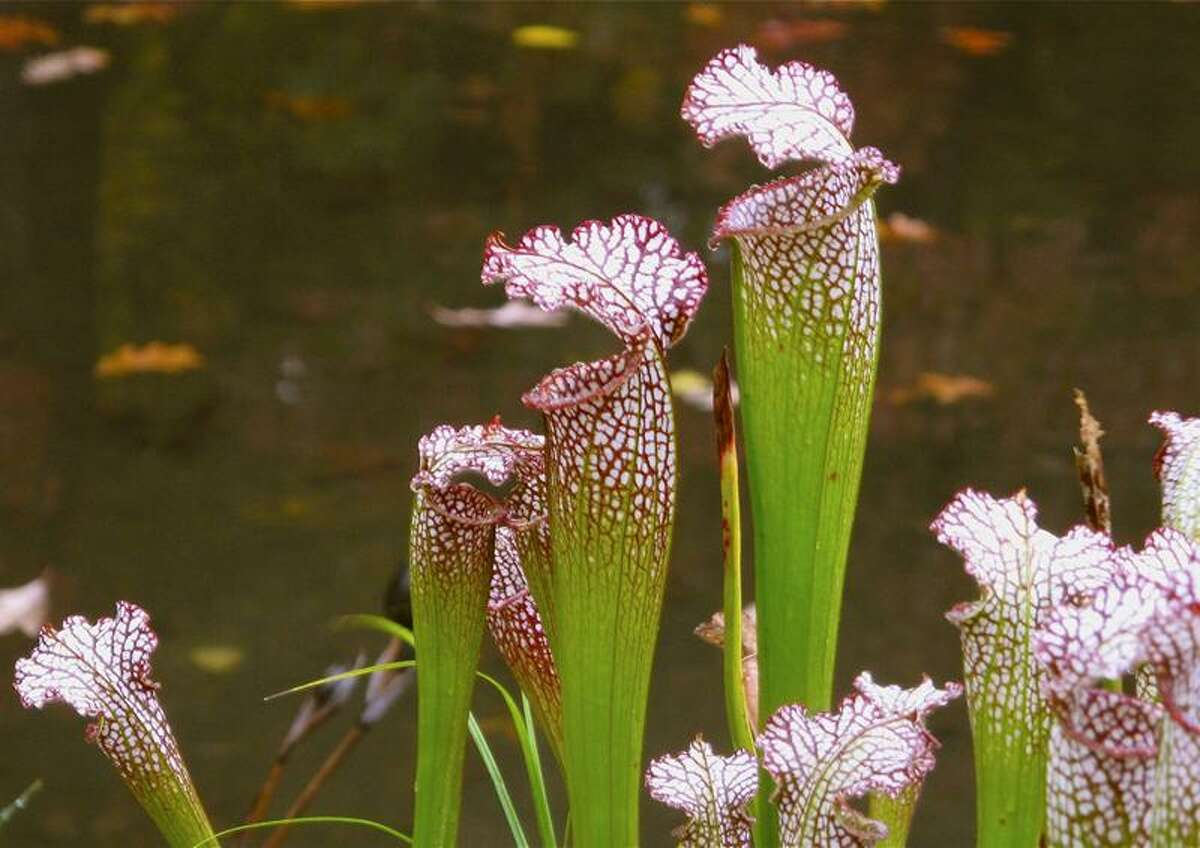 AP file photo: The pretty pitcher plants are just one of the many meat-eating plants that will be on view at the Marsh Botanic Gardens open house tonight. Don't worry. Only Seymour in