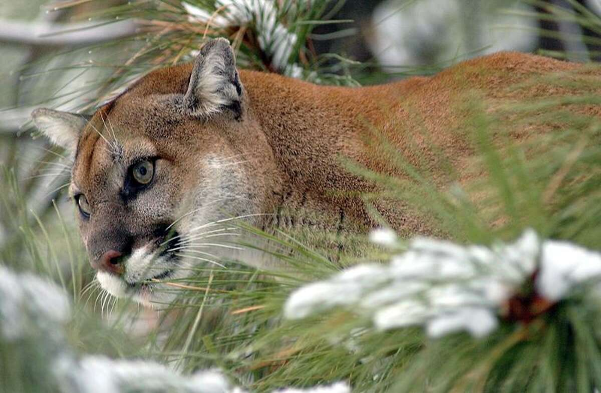Associated Press file photo: There's a talk about cougars at North Cove Outfitters in Old Saybrook this week.
