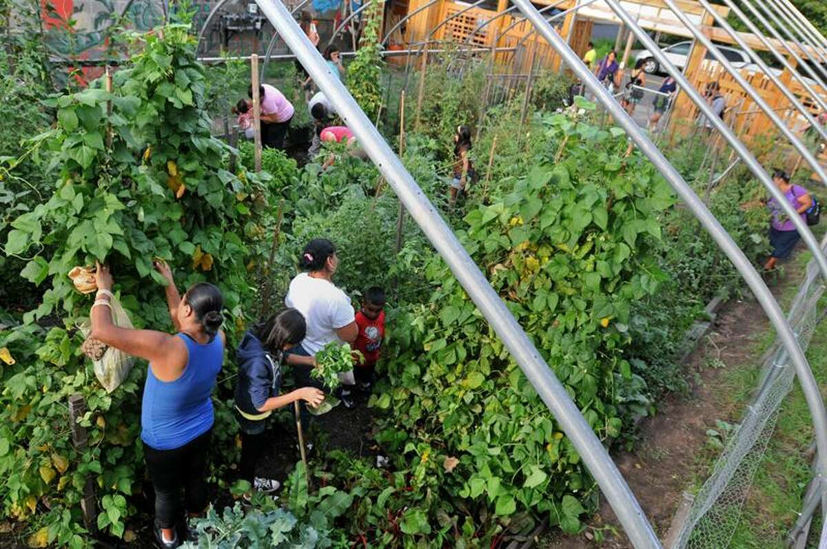 People pick vegetables at New Haven Farms garden. Photo by Brad Horrigan/Register