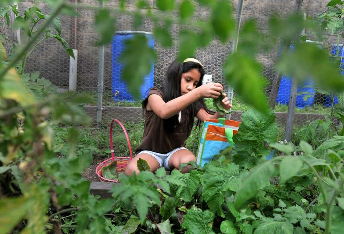 Atziri F. Rodriguez, 8, picks beets at the New Haven Farms garden in the Fair Haven neighborhood. Photo by Brad Horrigan/Register