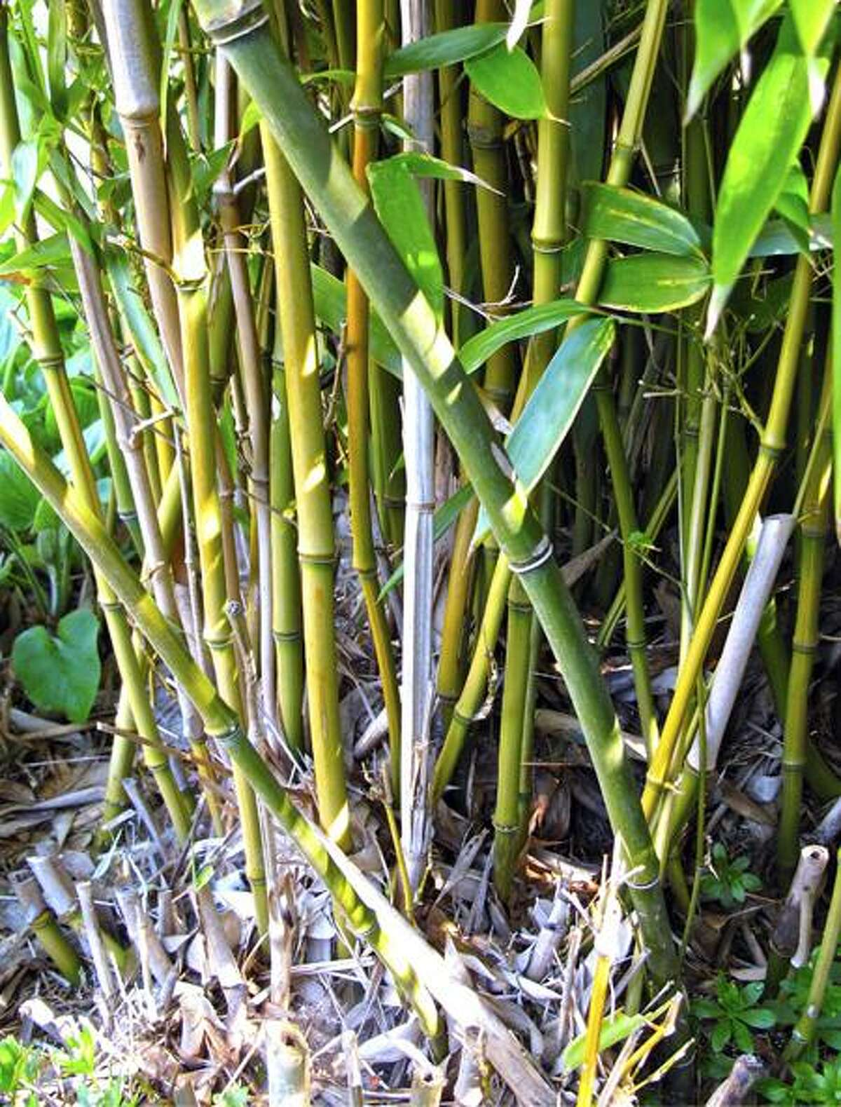 This April 26, 2011 photo shows bamboo in Langley, Wash. Bamboo is one of the fastest-growing plants in nature. One of the most useful, too. ItÕs hollow stems are incredibly strong and can be used for everything from fencing to trellises. (AP Photo/Dean Fosdick)