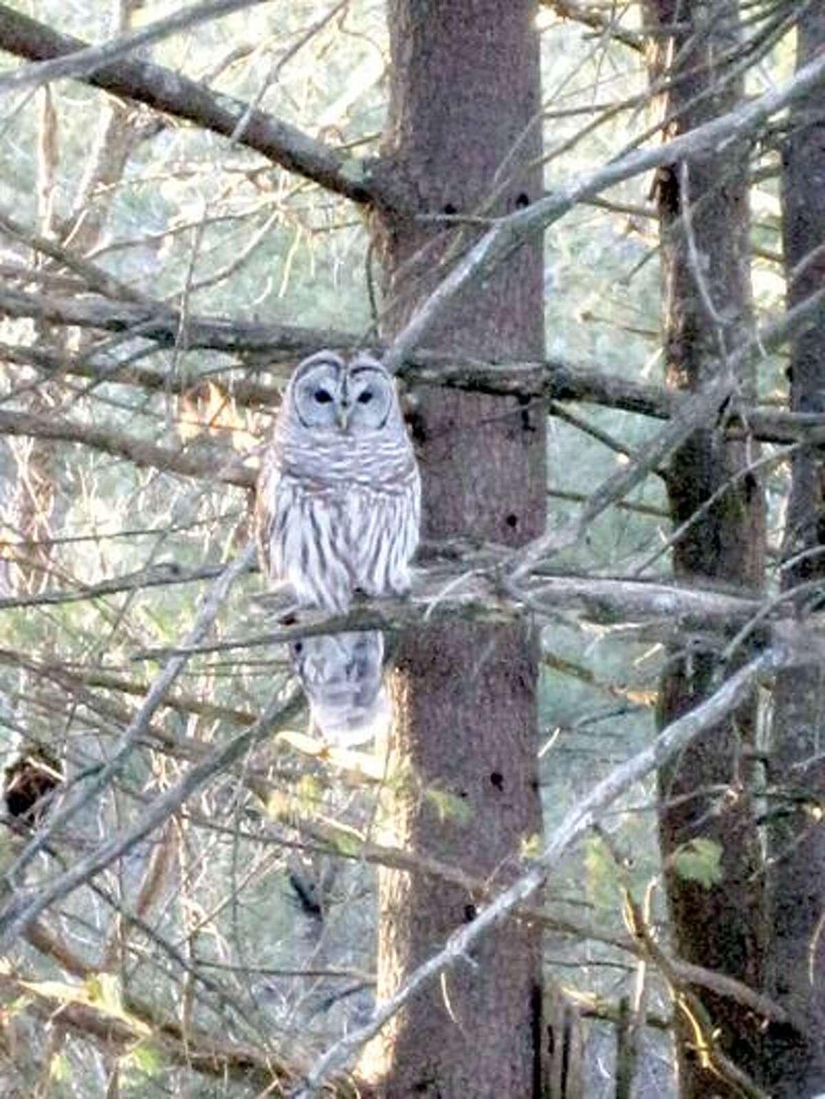 Hank Kudlinski photo: Barred owl