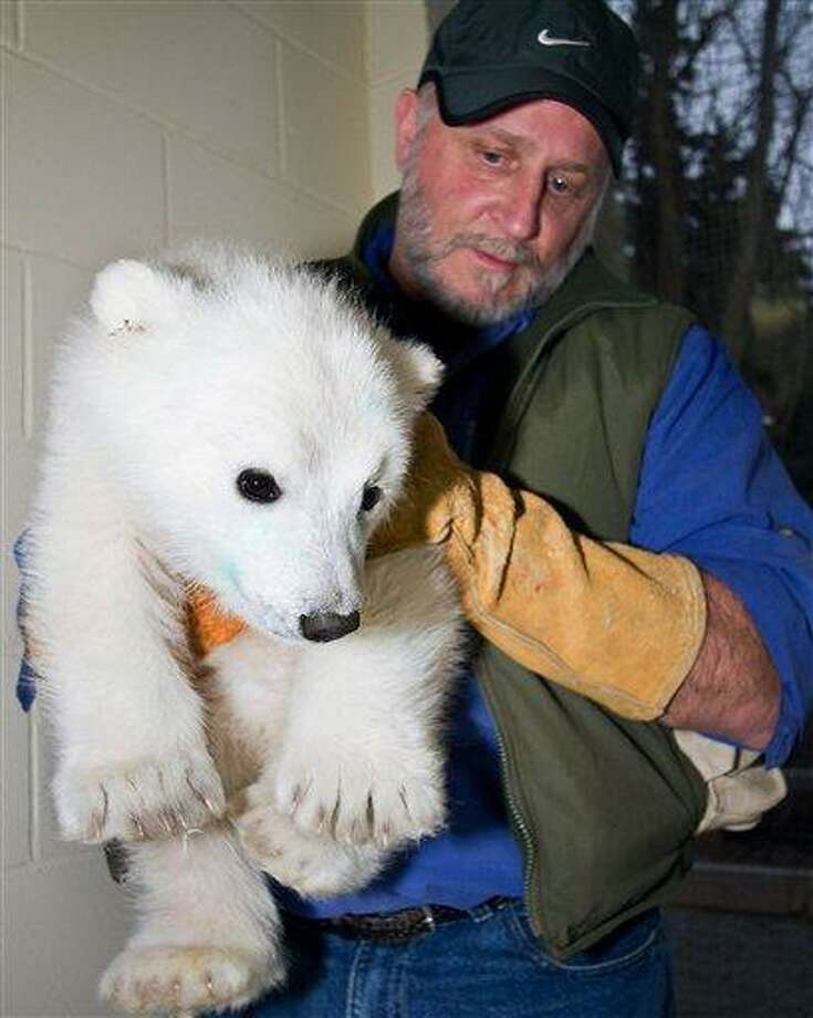 FILE - In this May 1, 2011 file photo provided by the Alaska Zoo, an orphaned polar bear cub rescued last week at an Alaska oil field is carried by Alaska Zoo director Pat Lampi at the zoo in Anchorage, Alaska. The cub is thriving at the Alaska Zoo but federal wildlife officials said Wednesday, May 25, 2011, they briefly considered trying to reunite the wild tyke with its mother after the adult bear was spotted on sea ice of the state's northern coast. (AP Photo/Alaska Zoo, John Gomes, File) Photo: AP / AP2011