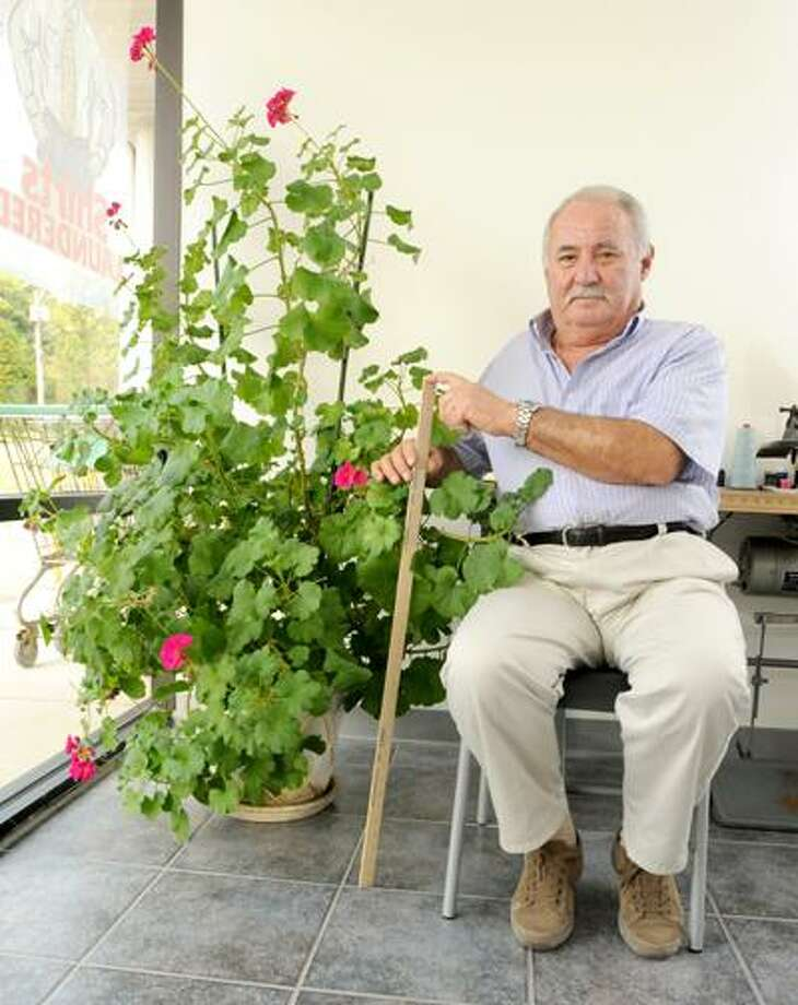 Fred Barucca, the Master Tailor at Oakdale Cleaners in Wallingford, shows of his 5 - foot geranium at the cleaners. Barucca said that he feeds the plant Miracle Gro. He bought the plant when it was one-foot. Peter Hvizdak/Register
