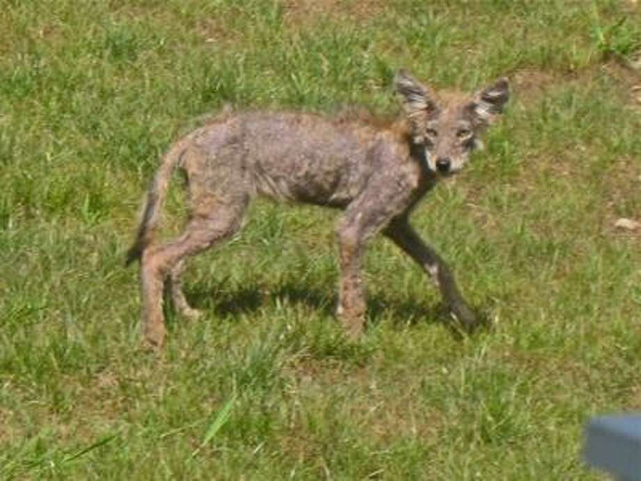 Contributed photo This emaciated coyote pup was spotted recently in a backyard on Red Oak Lane in Seymour.