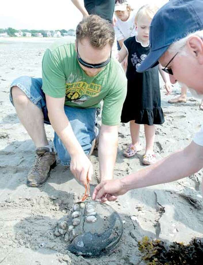 Eric Seaberg of Milford is instructed by Bill Poutray, right, of the Surfrider Foundation with boring a hole in the shell of a horseshoe crab to place a tag on it at Cedar Beach Sunday near the Connecticut Audubon Coastal Center in Milford. (Arnold Gold/Register)