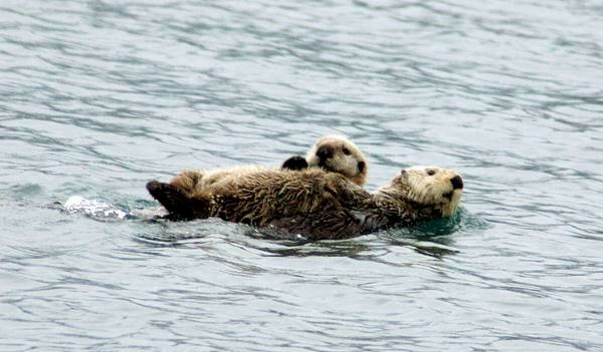Otters swim in Prince William Sound. Associated Press photos.
