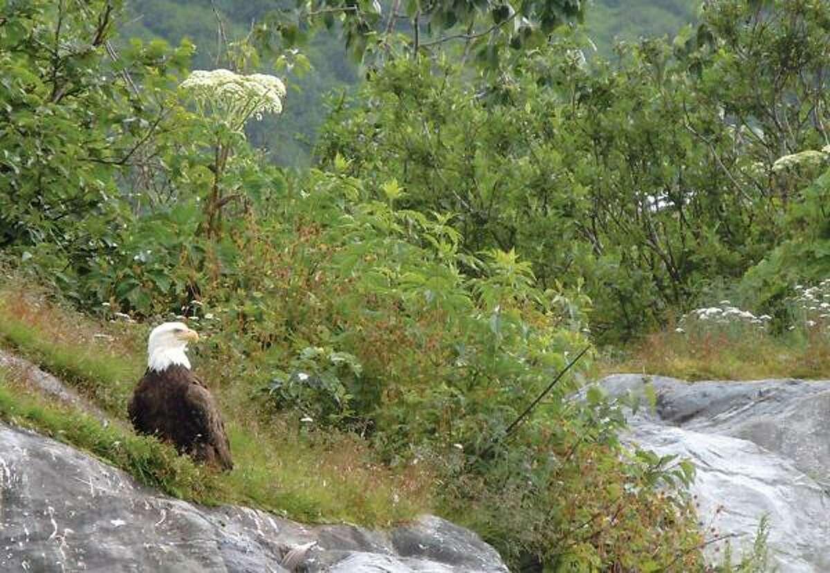 A bald eagle looks across Shoup Bay on Prince William Sound. Associated Press photos.