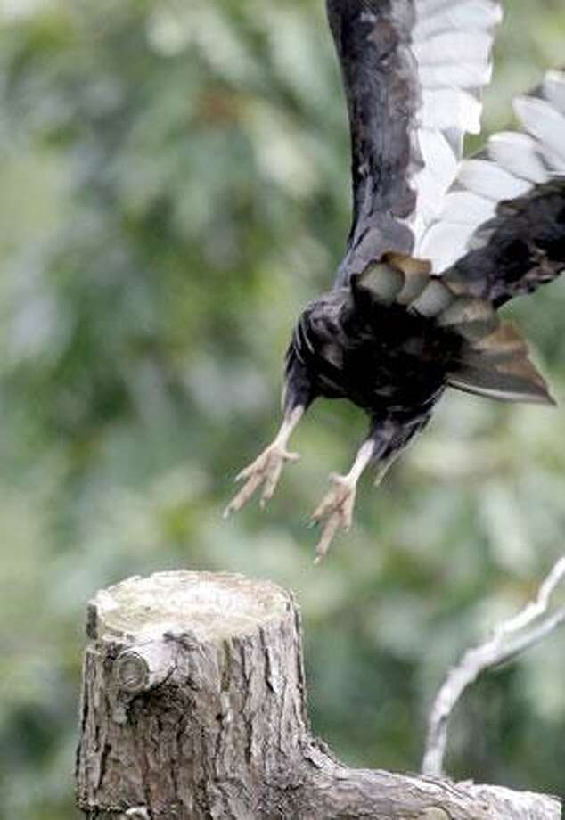 A turkey vulture launches into the air from a tree at HawkMountain Sanctuary in Kempton, Pa. Generations of families have come to the 2,400-acre ridge-top preserve in eastern Pennsylvania to watch migrating hawks, eagles and falcons. (Associated Press)