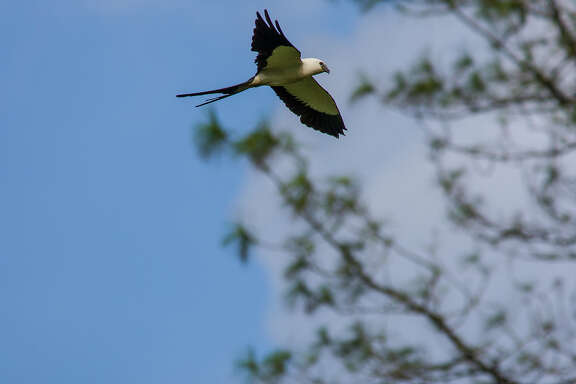 Swallow-tailed kites feed by plucking frogs, lizards, grasshoppers and snakes from vegetation while flying.