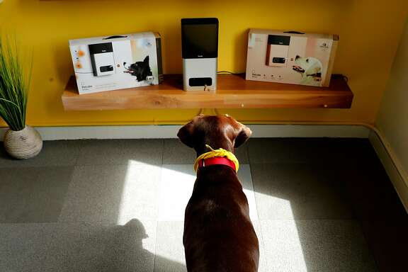 """Lola"" the dog, seen waiting for a treat to be delivered by the Petcube Bites device during a demonstration at the offices of Petcube in San Francisco, Ca., as seen on Wed. July 26, 2017. The company has created several devices one that monitors pets through a smart phone as well as another machine that flings pet treats also using a smart phone app."