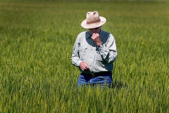 Wearing waders, Michael Rue inspects the crop growing in a flooded rice field at his Rue and Forsman Ranch in Olivehurst, Calif. on Thursday, July 27, 2017. A trade agreement has been finalized which will allow U.S. export of rice to China which would be a huge boon to California rice farmers like Rue.