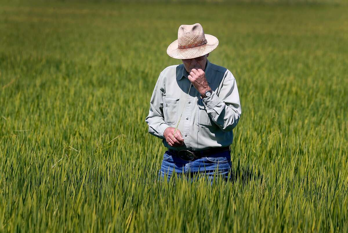 Michael Rue inspects the crop growing in a flooded rice field at his Rue and Forsman Ranch in Olivehurst, Calif. on Thursday, July 27, 2017. A trade agreement has been finalized which will allow U.S. export of rice to China which would be a huge boon to California rice farmers like Rue.