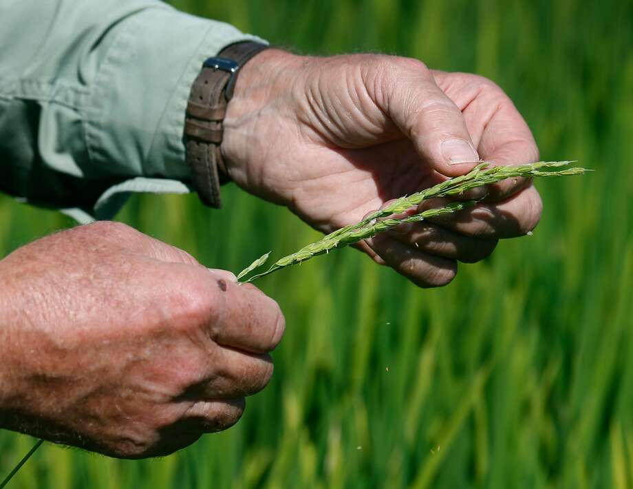Michael Rue, above, checks out this season's rice crop, left, by inspecting one of the first stalks to mature at his Rue and Forsman Ranch in Olivehurst (Yuba County). Photo: Paul Chinn, The Chronicle