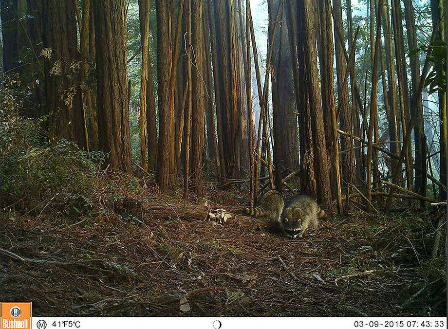 Raccoons forage for snacks in the Gary Giacomini Preserve in this photo from the Marin Wildlife Picture Index. The One Tam project set up motion-activated cameras in the Lagunitas Creek watershed and on Mount Tam to capture wildlife activity in the area. Click through the slideshow to see other wildlife candids!(Photo courtesy of Marin County Parks) Photo: Marin Wildlife Picture Index Project