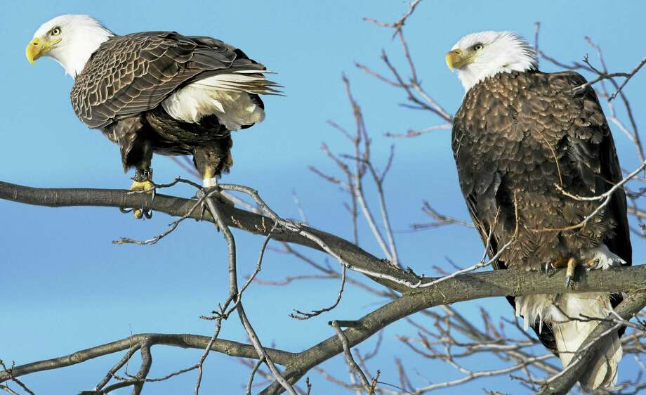 A pair of bald eagles has returned to Ella T. Grasso Boulevard in New Haven to nest. Pictured is the male, left, dubbed Walter, and the female, right, dubbed Rachel. Photo: CONTRIBUTED Photo — Martin Torresquintero