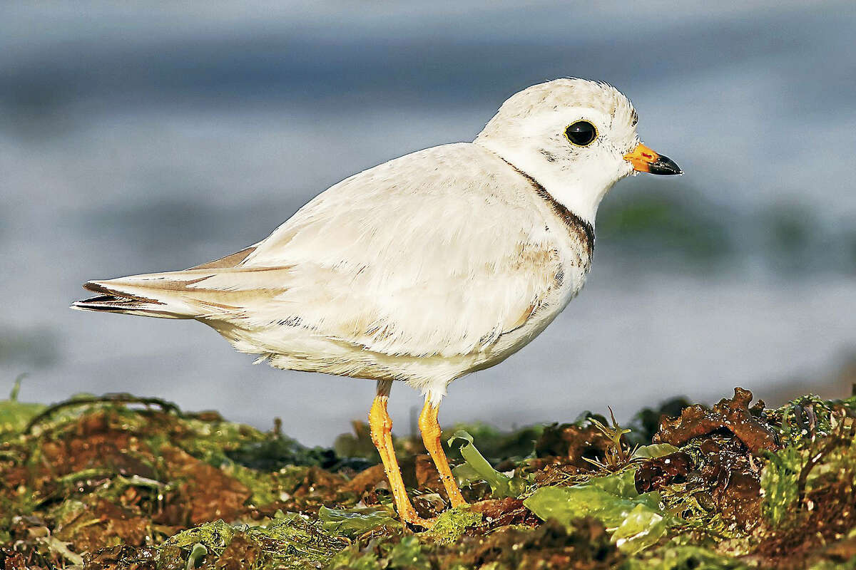 Piping plovers are a migratory bird that nest on Connecticut shores.