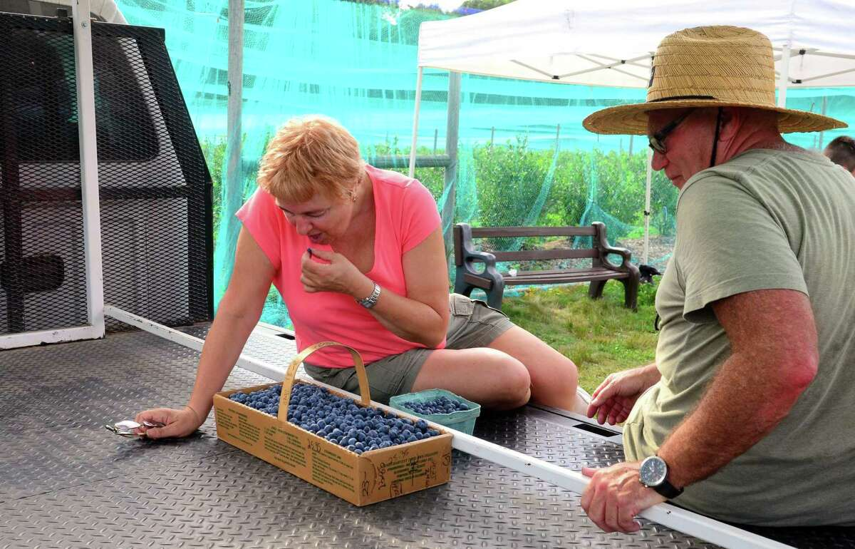 Marina Kogan, of Fairfield, can't resist eating a few of the blueberries she and her husband Boris, right, picked while at Jones Family Farm in Shelton, Conn., on Friday Sept. 2, 2016. To get the latest information for picking call the Jones Family Farm crop report at 203-929-8425 or visit: http://www.jonesfamilyfarms.com
