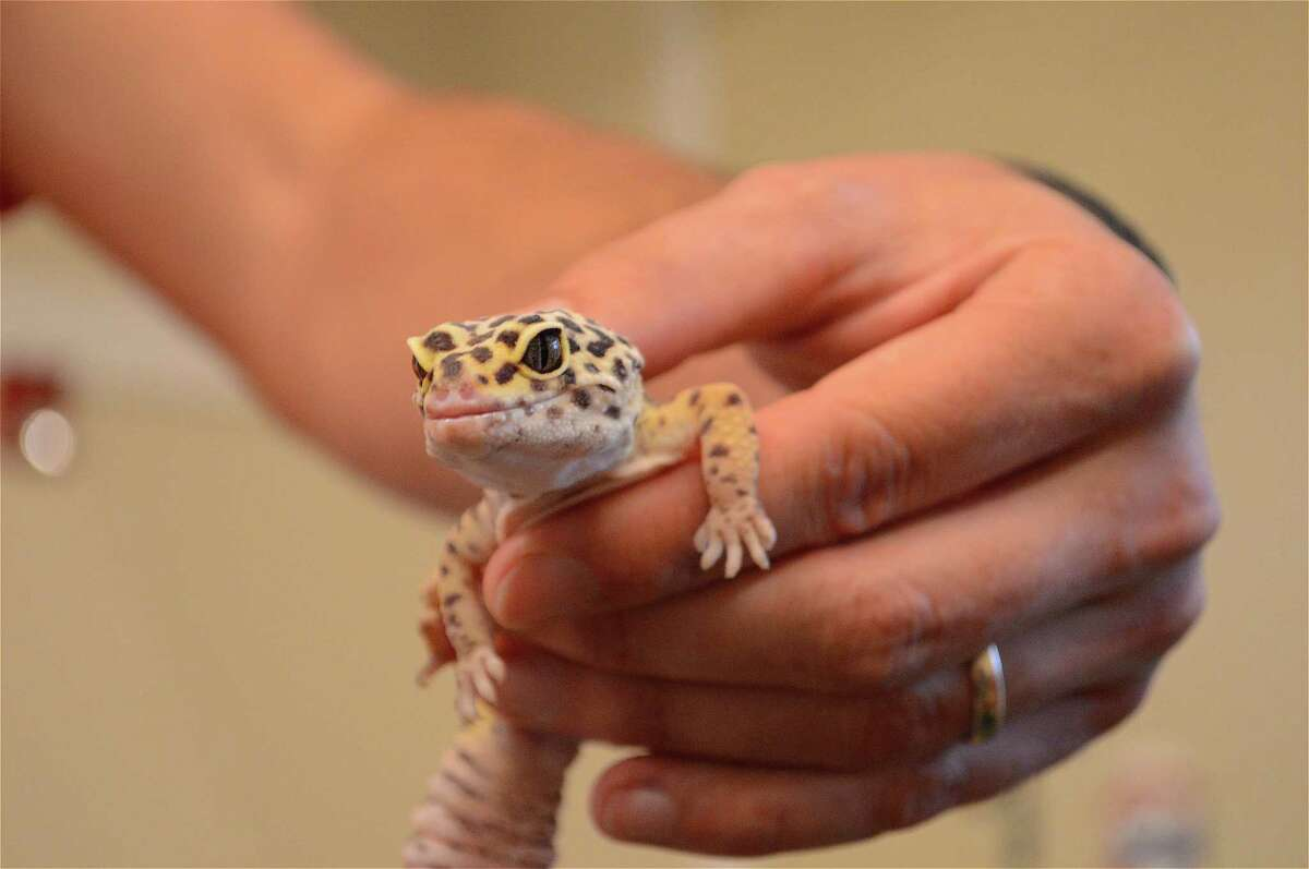 Gilbert the leopard gecko made an appearance for a Family Fun Night event at the New Canaan Nature Center on Reptiles from Around the World, Friday, July 28, 2017, in New Canaan, Conn.