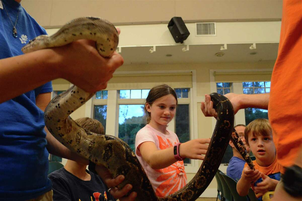 Habenjero, a Nicaraguan boa, meets the public at a Family Fun Night event at the New Canaan Nature Center on Reptiles from Around the World, Friday, July 28, 2017, in New Canaan, Conn.
