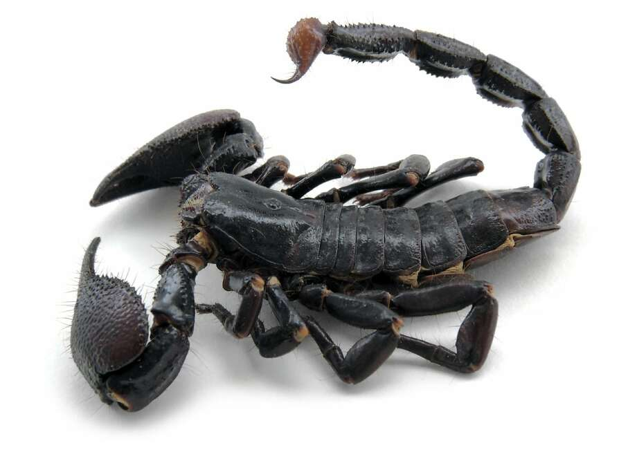 This file photo shows a scorpion similar to the one a  Canadian weatherman says he found after shopping at at Costco. Photo: Achim Prill, Istockphoto