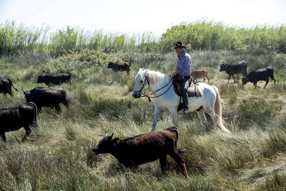 The Camargue horse is the traditional mount of les gardians, the Camargue