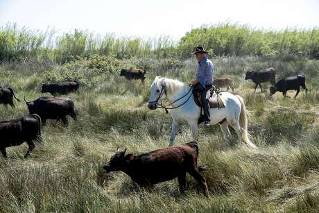 """The Camargue horse is the traditional mount of les gardians, the Camargue """"cowboys"""" who herd the black Camargue bulls used in bullfighting. Photo: Mark Sissons, Special To The Chronicle"""
