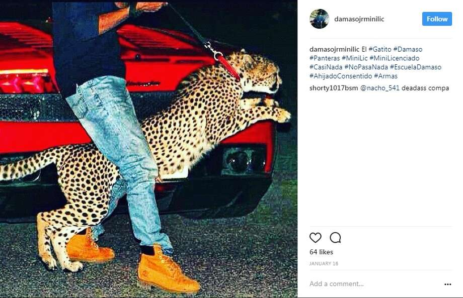 "The alleged Instagram account of Damaso Lopez Serrano is filled with gold plated guns, exotic pets and drugs. Lopez is the son of Damaso Lopez Nunez, a close deputy of Joaquin ""El Chapo"" Guzman.Image source: Instagram Photo: Damaso Lopez Serrano Via Instagram"