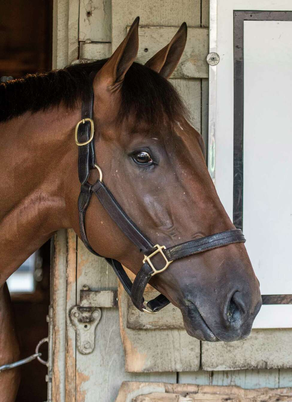 Potential Whiney Stakes entrant Keen Ice looks out of his stall in the Todd Pletcher training stable at the Oklahoma Training center Monday July 31, 2017 adjacent to the Saratoga Race Course in Saratoga Springs, N.Y. (Skip Dickstein/Times Union)