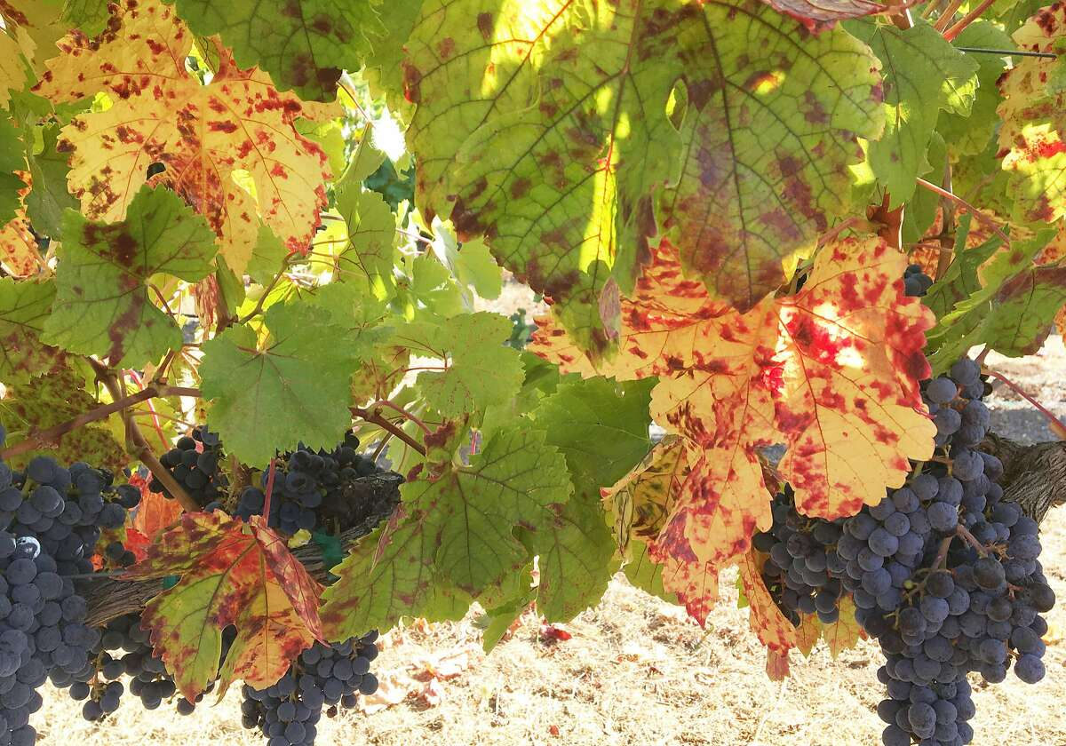 Grape leaves infected with red blotch disease.