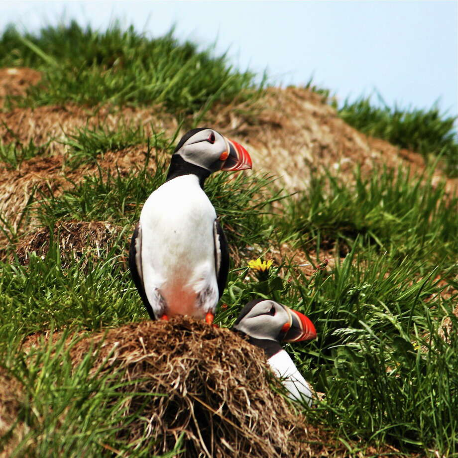 Members of Naugatuck Audubon will see puffins and other residents of Iceland at the club's meeting Tuesday night. The public is invited. Photo: Peter Rzasa