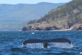 A fin whale, among others, was spotted on a whale-watching excursion off the Gaspe Peninsula. (Alan Solomon/Chicago Tribune/TNS)