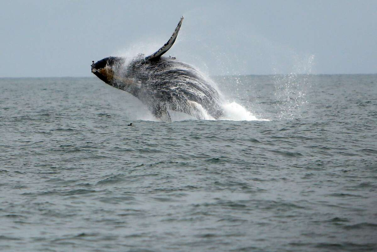 A humpback whale breaches west of the Golden Gate Bridge in San Francisco on Aug. 22, 2015.