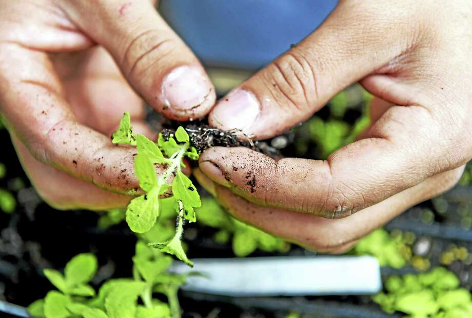 Eupaturium Perfoliatum seedlings were harvested last summer and are being grown and cultivated at the Greenbrier Greenhouses now with the help of the adults in the G.R.O.W.E.R.S. program. Photo: PETER HVIZDAK — NEW HAVEN REGISTER   / ©2017 Peter Hvizdak