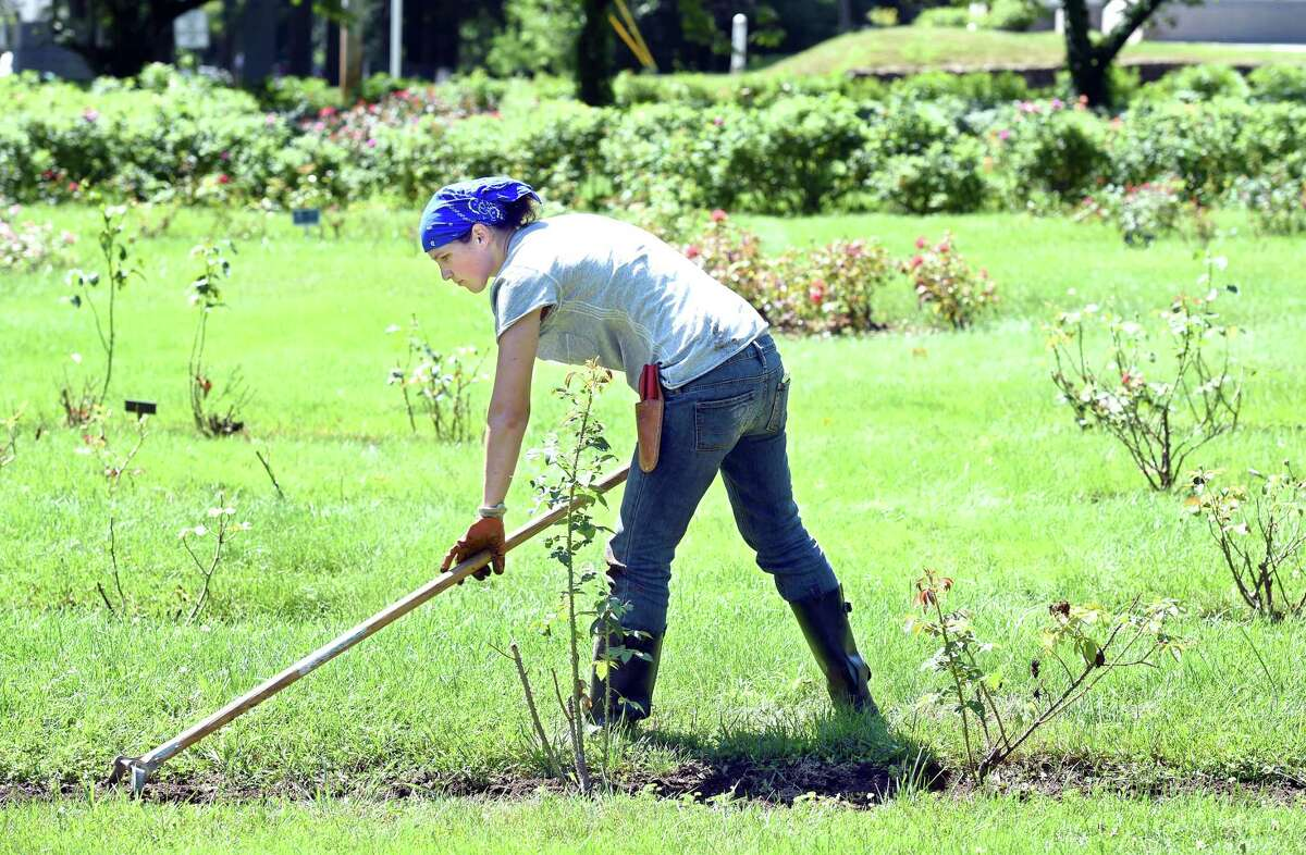 Brooke Ruggio weeds around English Roses at the Pardee Rose Garden in Hamden on 7/31/2015. Photo by Arnold Gold/New Haven Register agold@newhavenregister.com
