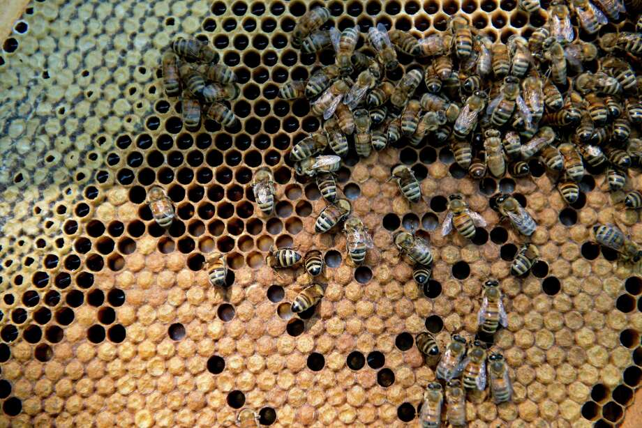 Carniolan honey bees climb on the frame of a hive owned by Bureau County Honey Co. near Hennepin, Illinois, on July 3, 2014. Photo: Bloomberg Photo By Daniel Acker. / © 2014 Bloomberg Finance LP