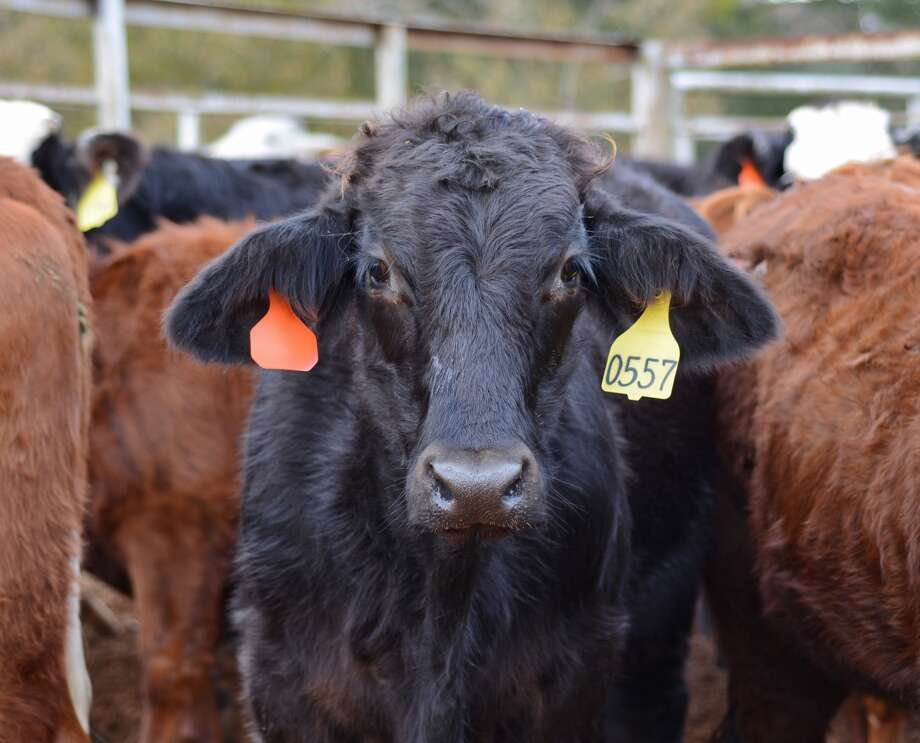 Beef prices have slipped recently following a spring rally as demands have decreased and supplies increased.