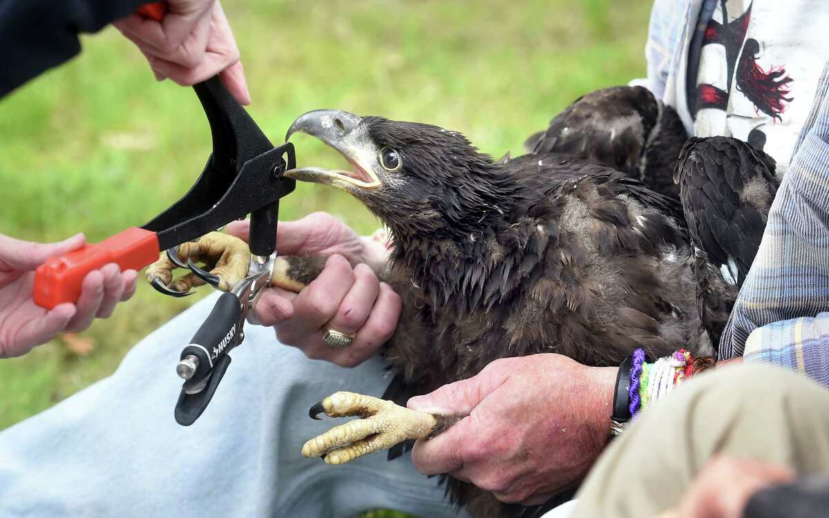 A male eaglet is tagged by wildlife biologist Jenny Dickson (left) of the Connecticut DEEP Wildlife Division while being held by Mike O'Leary of the Connecticut Bald Eagle Study Group near the West River in New Haven on 5/15/2017. The eaglets were banded with a U.S. Fish & Wildlife Service band and a Connecticut band with an alphanumeric code. Biological measurements were also taken and a health assessment was performed. Photo by Arnold Gold/New Haven Register agold@newhavenregister.com