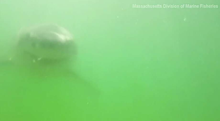 This great white shark tried to chomp on a researcher's underwater camera in Massachusetts. Photo: Associated Press