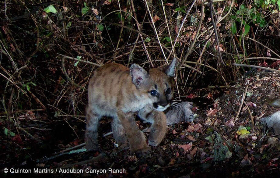 P1's kittens were once again caught on camera, looking much larger at four months old.Click through these pictures to see how much they've grown.  Photo: AUDUBON CANYON RANCH