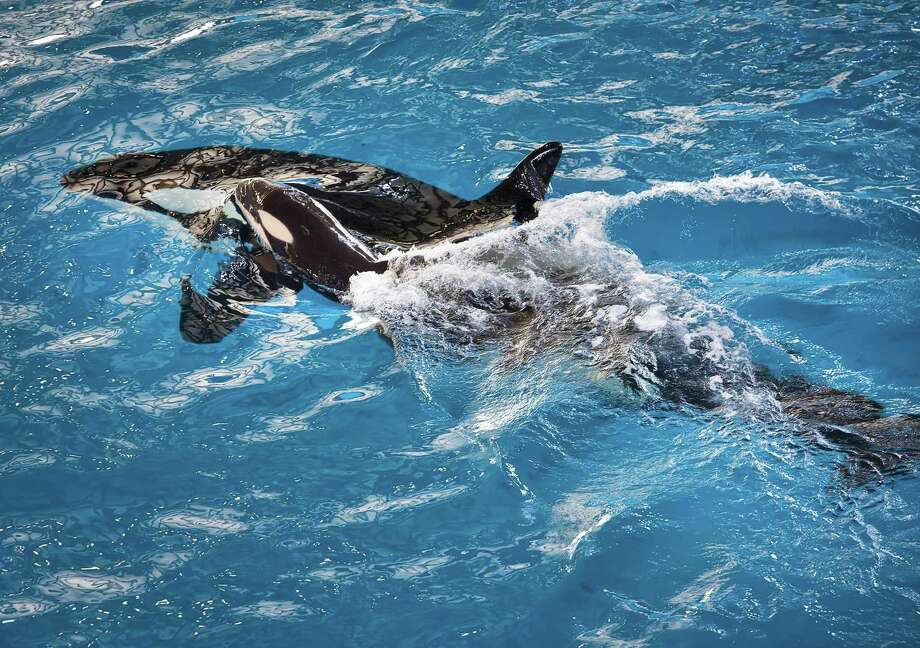 The death of the 3-month-old orca calf born at the San Antonio park was part of a turbulent summer. Yet SeaWorld San Antonio reported growth for the first time in three years. Photo: SeaWorld Parks & Entertainment / SeaWorld Parks & Entertainment