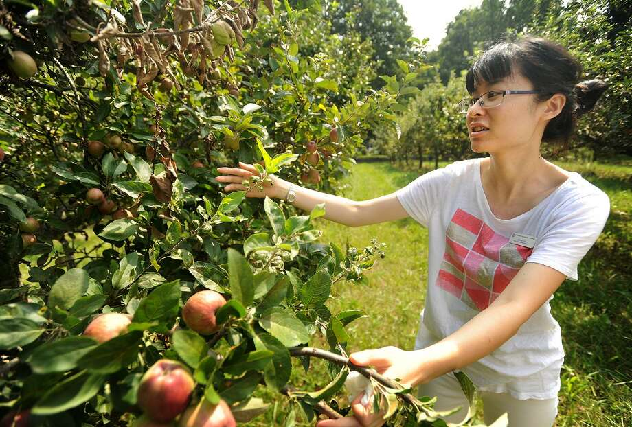 Plant Pathology and Ecology scientist Zhouqi Cui points out examples of fire blight on apple trees at the Connecticut Agricultural Experiment Station's Lockwood Farm in Hamden during the 107th Annual Plant Science Day on Wednesday, August 2, 2017. The disease affects apple and pear trees. Photo: Brian A. Pounds / Hearst Connecticut Media / Connecticut Post