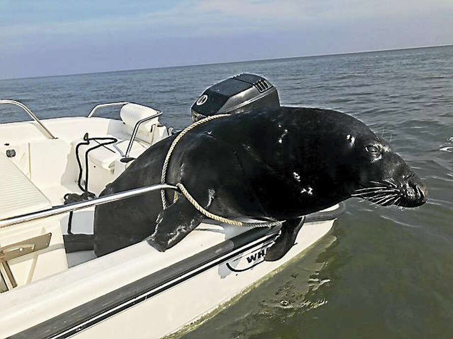 Two Branford residents found a dead seal in Long Island Sound last week. Photo: CONTRIBUTED PHOTO