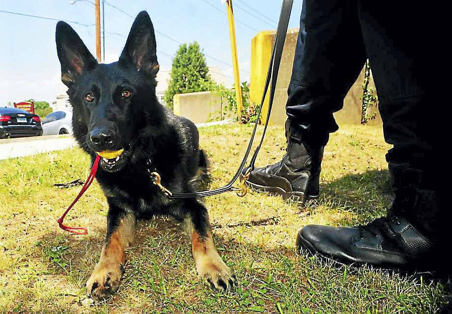 Zeus is the Bridgeport Police Department's newest K9 who is paired with officer Ryan Mullenax at Bridgeport Police Department headquarters in Bridgeport, Conn. on Wednesday July 6, 2016. Photo: Christian Abraham / Hearst Connecticut Media