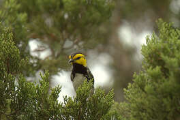 A male golden-cheeked warbler forages for insects at Friedrich Wilderness Park near San Antonio.