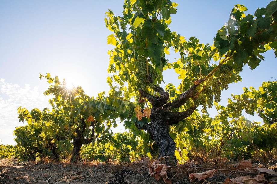 The Carlisle Vineyard, a 90-year-old Zinfandel site in the Russian River Valley. Photo: Mason Trinca, Special To The Chronicle
