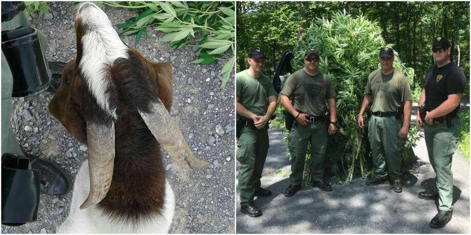 Drug busts: Recent drug raids in the Houston-areaPolice in West Virginia recently encountered a stubborn goat defending a patch of marijuana plants they were trying to seize.Click through above to see recent drug busts in the Houston-area