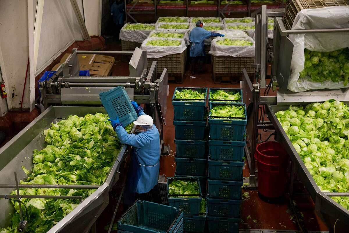 Workers load heads of lettuce into the trim and sort process area at the Taylor Farms processing facility in Salinas, Calif. Thursday, July 20, 2017.